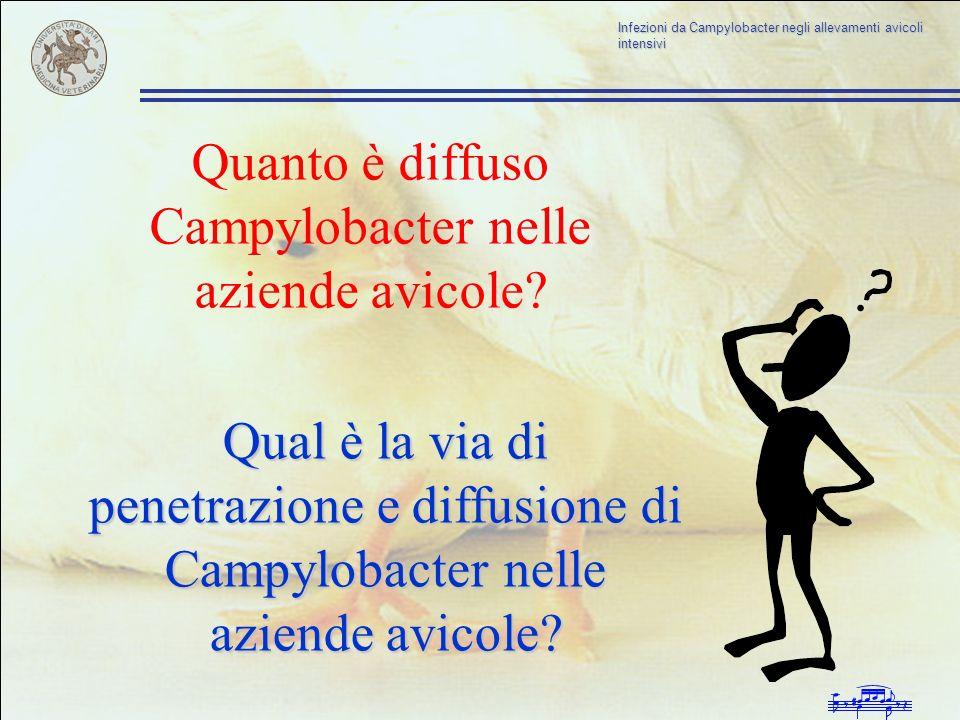 Quanto è diffuso Campylobacter nelle aziende avicole