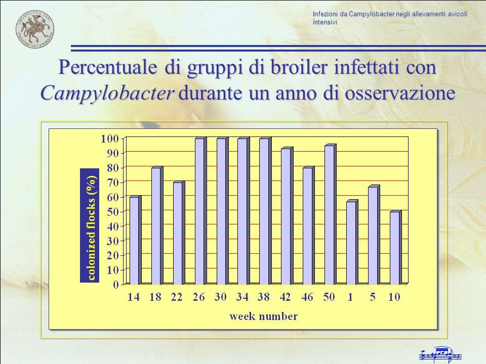 Percentuale di gruppi di broiler infettati con Campylobacter durante un anno di osservazione