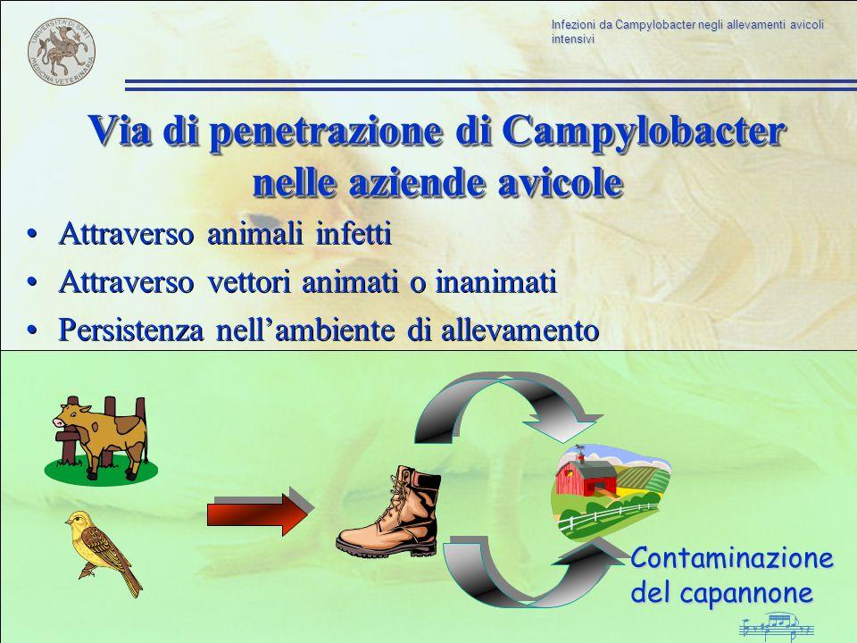 Via di penetrazione di Campylobacter nelle aziende avicole