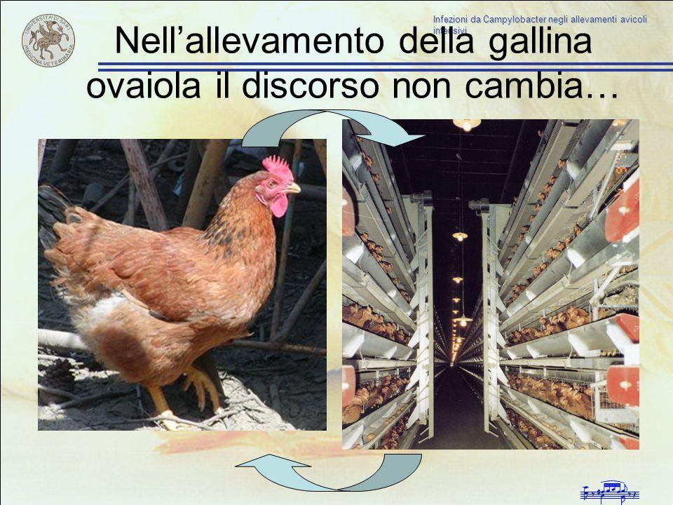 Nell'allevamento della gallina ovaiola il discorso non cambia…