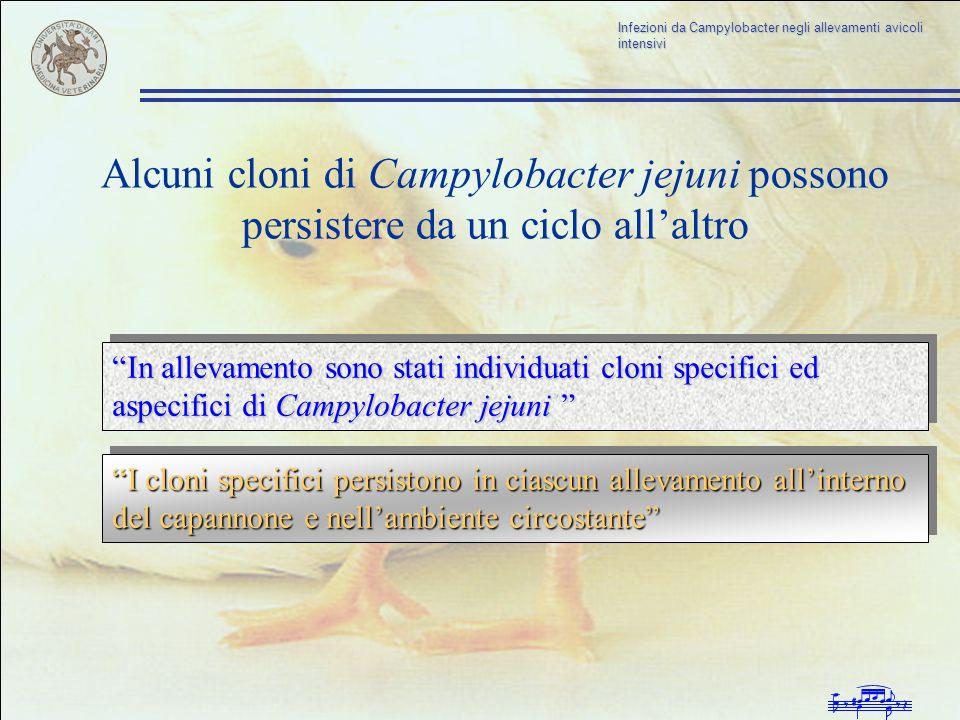 Alcuni cloni di Campylobacter jejuni possono persistere da un ciclo all'altro