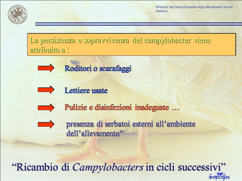 Ricambio di Campylobacters in cicli successivi