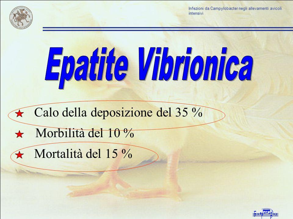 Epatite Vibrionica Calo della deposizione del 35 % Morbilità del 10 %