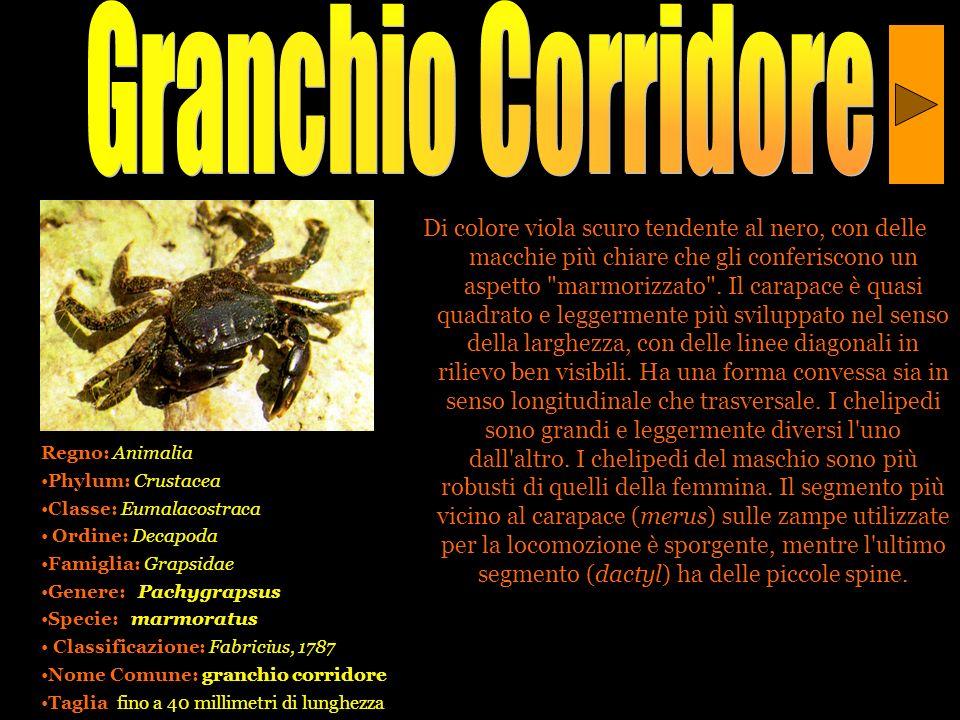 Granchio Corridore