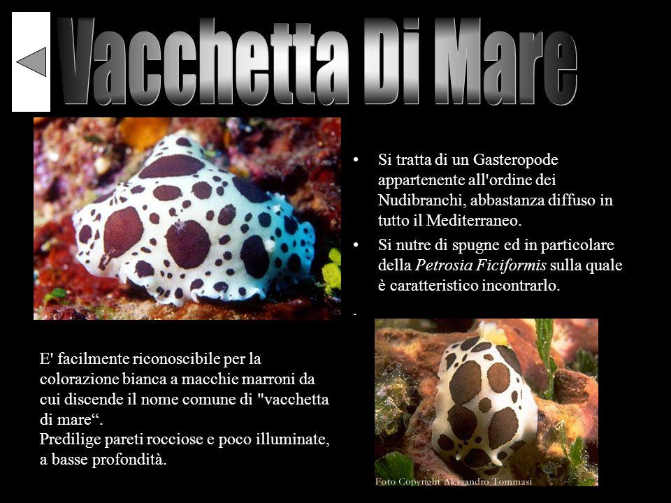 Vacchetta Di Mare Si tratta di un Gasteropode appartenente all ordine dei Nudibranchi, abbastanza diffuso in tutto il Mediterraneo.