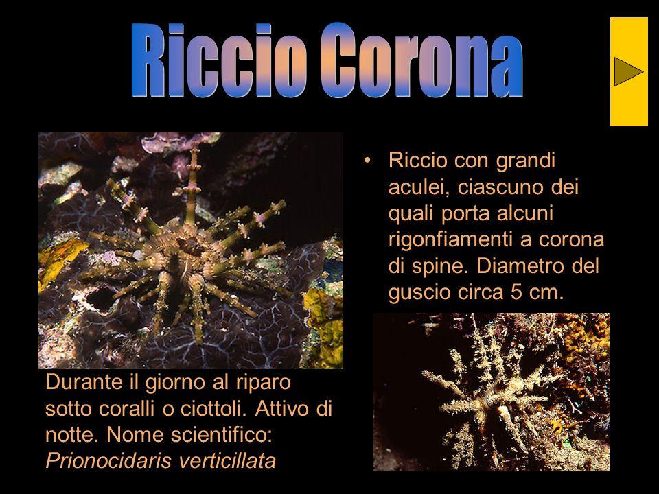 Riccio CoronaRiccio con grandi aculei, ciascuno dei quali porta alcuni rigonfiamenti a corona di spine. Diametro del guscio circa 5 cm.