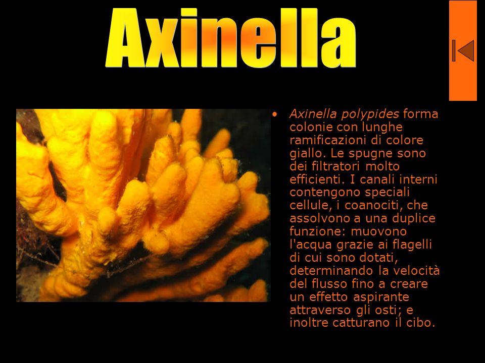 Axinella