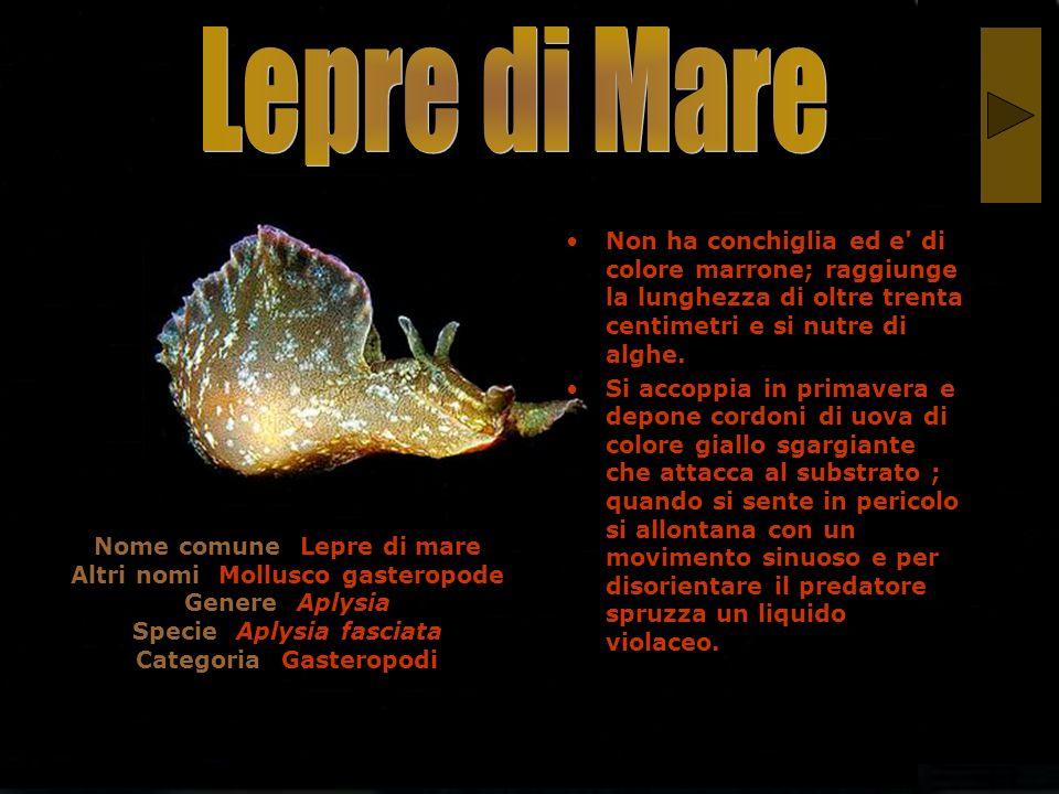 Lepre di Mare Non ha conchiglia ed e di colore marrone; raggiunge la lunghezza di oltre trenta centimetri e si nutre di alghe.