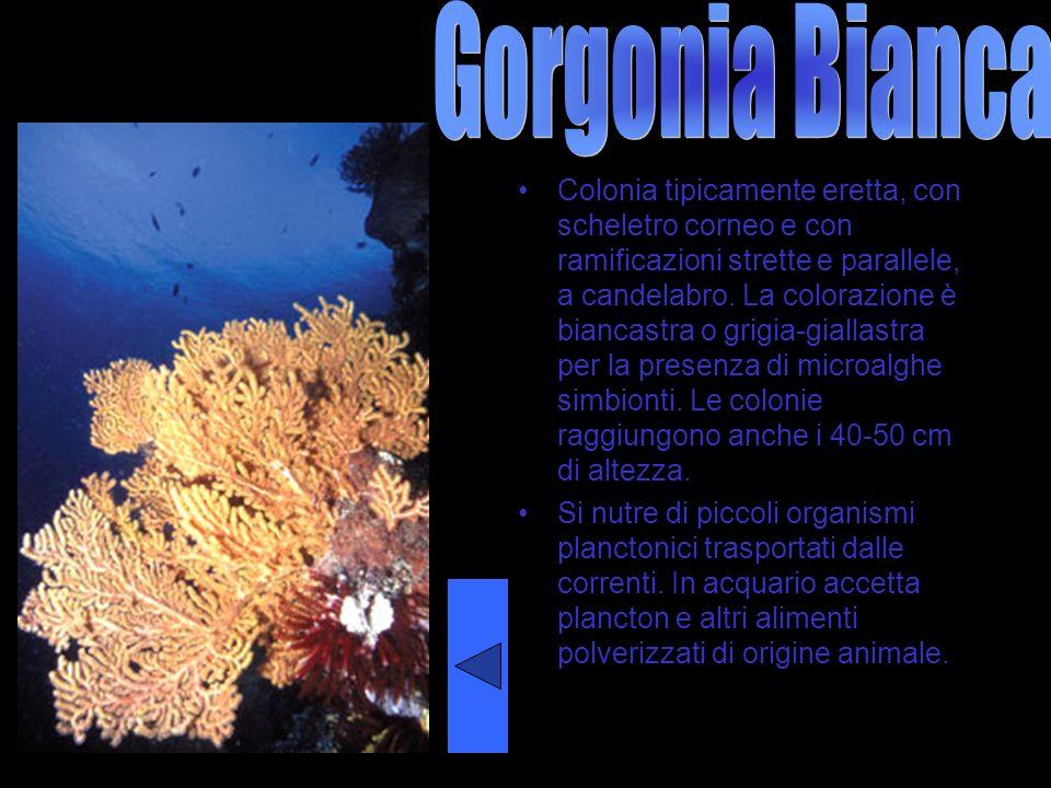 Gorgonia Bianca