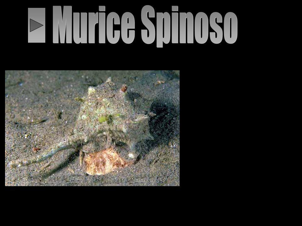 Murice Spinoso