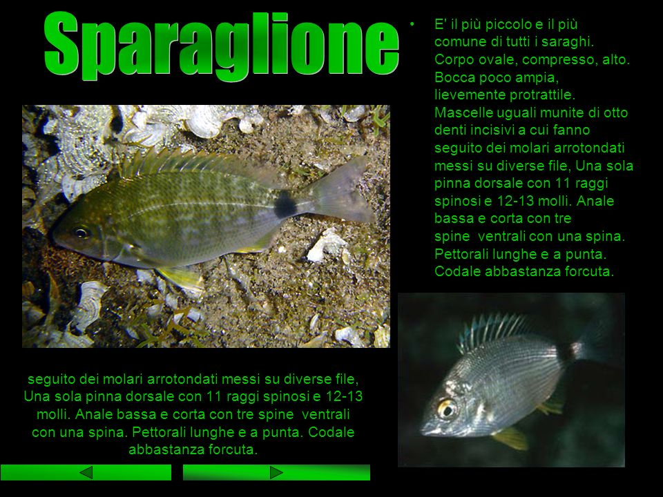 Sparaglione