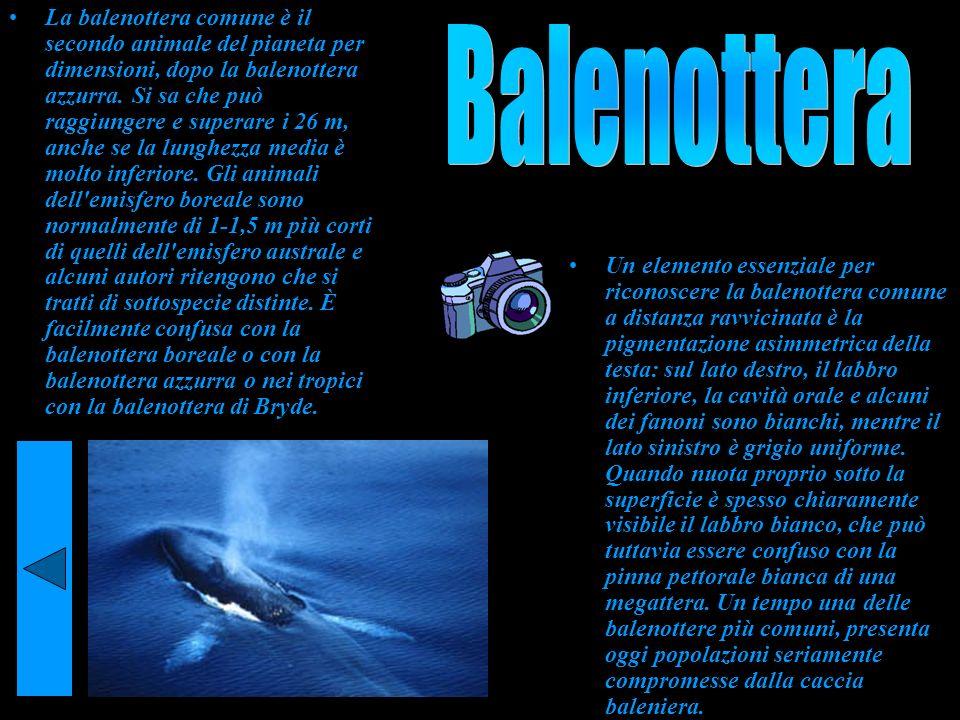 La balenottera comune è il secondo animale del pianeta per dimensioni, dopo la balenottera azzurra. Si sa che può raggiungere e superare i 26 m, anche se la lunghezza media è molto inferiore. Gli animali dell emisfero boreale sono normalmente di 1-1,5 m più corti di quelli dell emisfero australe e alcuni autori ritengono che si tratti di sottospecie distinte. È facilmente confusa con la balenottera boreale o con la balenottera azzurra o nei tropici con la balenottera di Bryde.