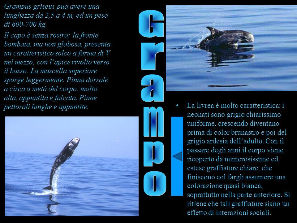 Grampus griseus può avere una lunghezza da 2,5 a 4 m, ed un peso di 600-700 kg.