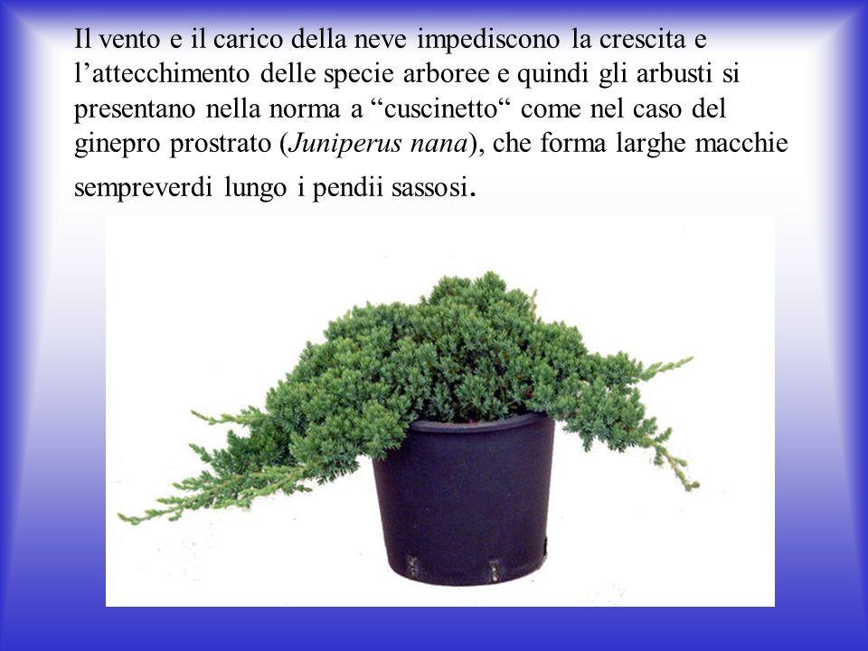 Il vento e il carico della neve impediscono la crescita e l'attecchimento delle specie arboree e quindi gli arbusti si presentano nella norma a cuscinetto come nel caso del ginepro prostrato (Juniperus nana), che forma larghe macchie sempreverdi lungo i pendii sassosi.