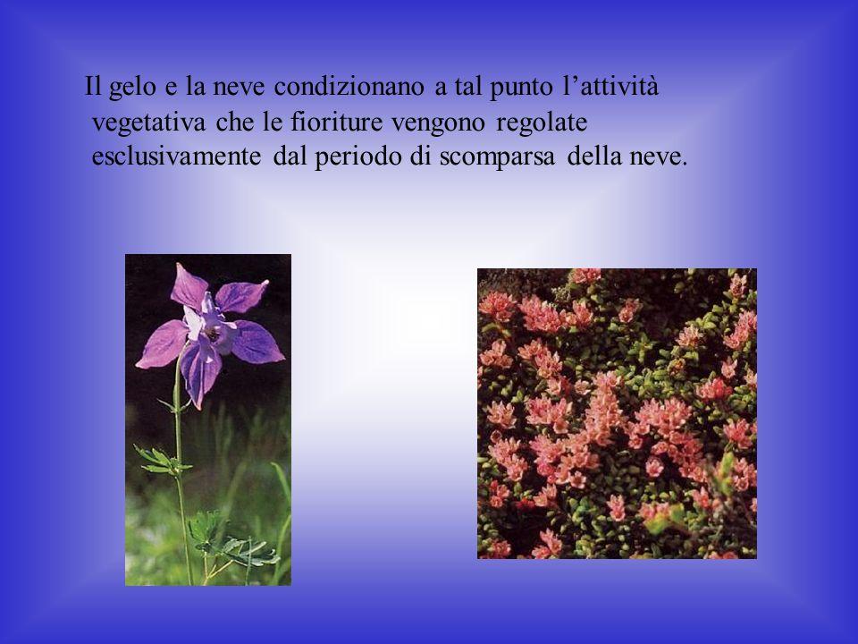 Il gelo e la neve condizionano a tal punto l'attività vegetativa che le fioriture vengono regolate esclusivamente dal periodo di scomparsa della neve.
