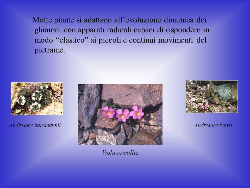 Molte piante si adattano all'evoluzione dinamica dei ghiaioni con apparati radicali capaci di rispondere in modo elastico ai piccoli e continui movimenti del pietrame.