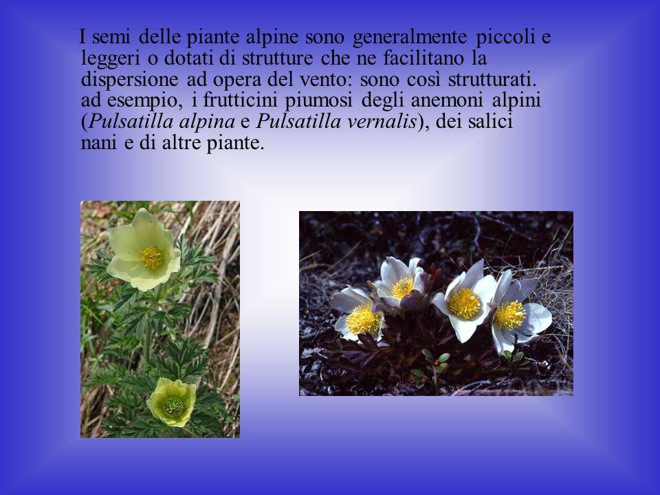 I semi delle piante alpine sono generalmente piccoli e leggeri o dotati di strutture che ne facilitano la dispersione ad opera del vento: sono così strutturati.