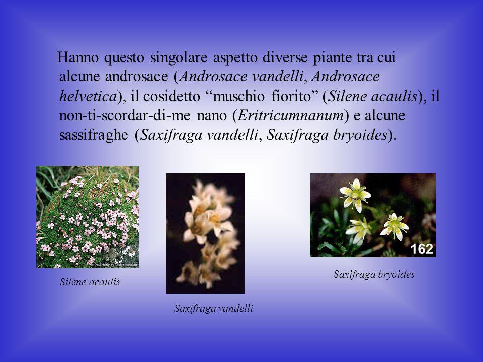 Hanno questo singolare aspetto diverse piante tra cui alcune androsace (Androsace vandelli, Androsace helvetica), il cosidetto muschio fiorito (Silene acaulis), il non-ti-scordar-di-me nano (Eritricumnanum) e alcune sassifraghe (Saxifraga vandelli, Saxifraga bryoides).