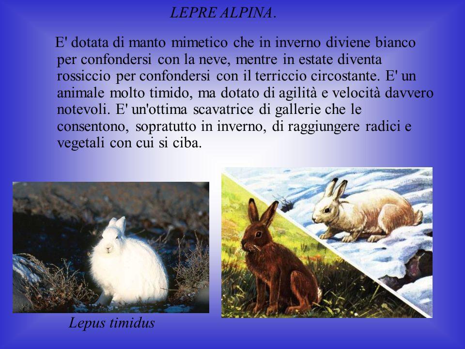 LEPRE ALPINA.