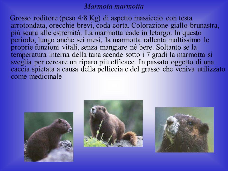 Marmota marmotta