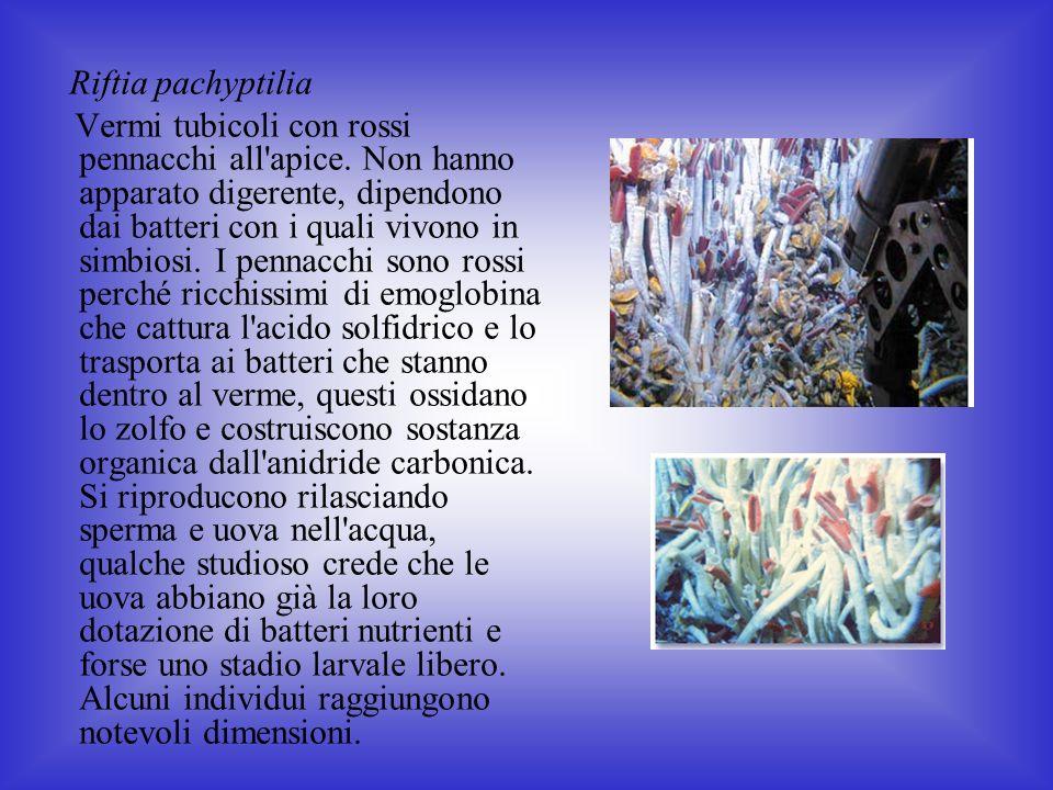 Riftia pachyptilia