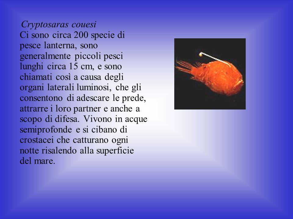 Cryptosaras couesi Ci sono circa 200 specie di pesce lanterna, sono generalmente piccoli pesci lunghi circa 15 cm, e sono chiamati così a causa degli organi laterali luminosi, che gli consentono di adescare le prede, attrarre i loro partner e anche a scopo di difesa.