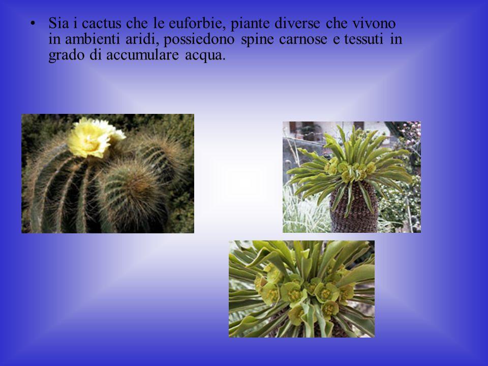 Sia i cactus che le euforbie, piante diverse che vivono in ambienti aridi, possiedono spine carnose e tessuti in grado di accumulare acqua.