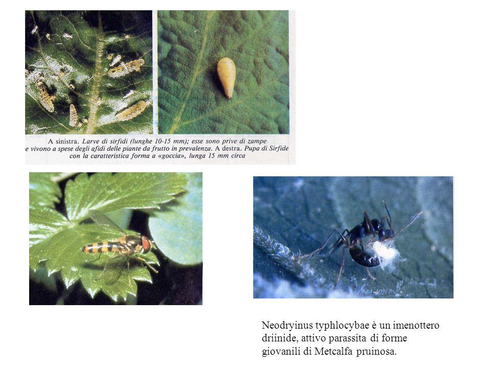Neodryinus typhlocybae è un imenottero driinide, attivo parassita di forme giovanili di Metcalfa pruinosa.
