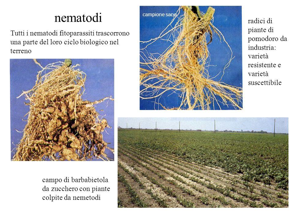 nematodi campione sano. radici di piante di pomodoro da industria: varietà resistente e varietà suscettibile.