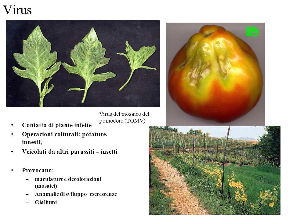 Virus Contatto di piante infette