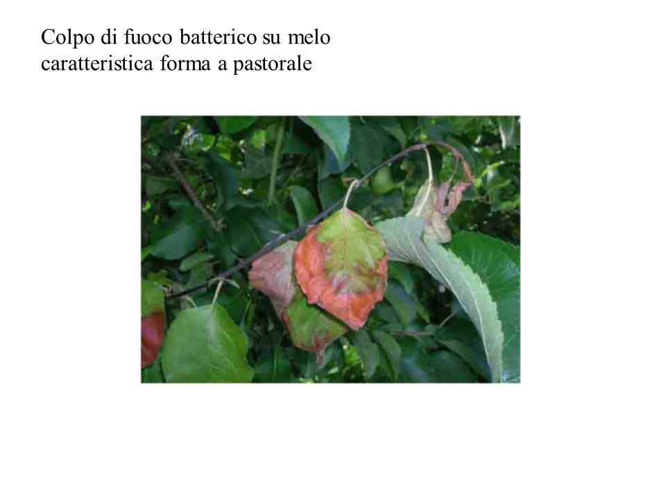 Colpo di fuoco batterico su melo caratteristica forma a pastorale