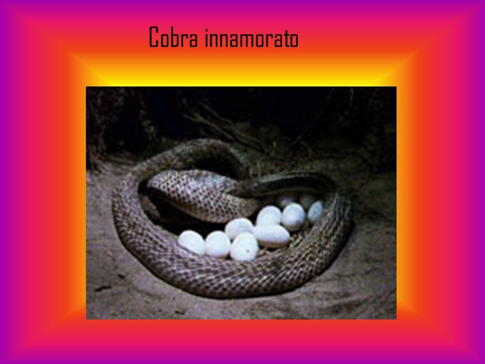 Cobra innamorato