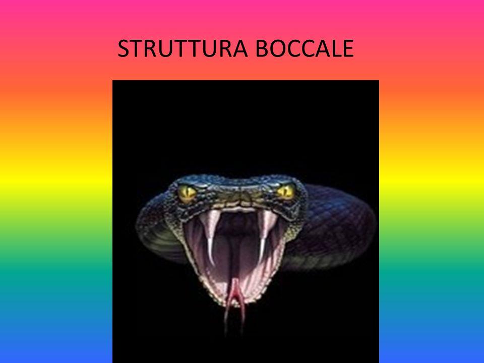 STRUTTURA BOCCALE
