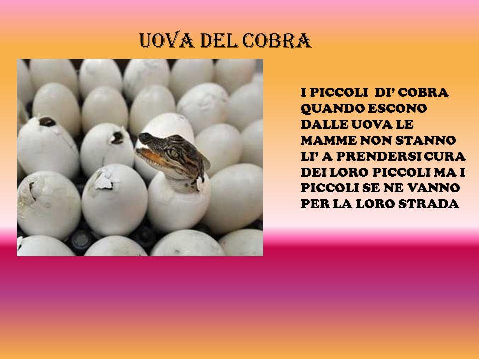 Uova del cobra
