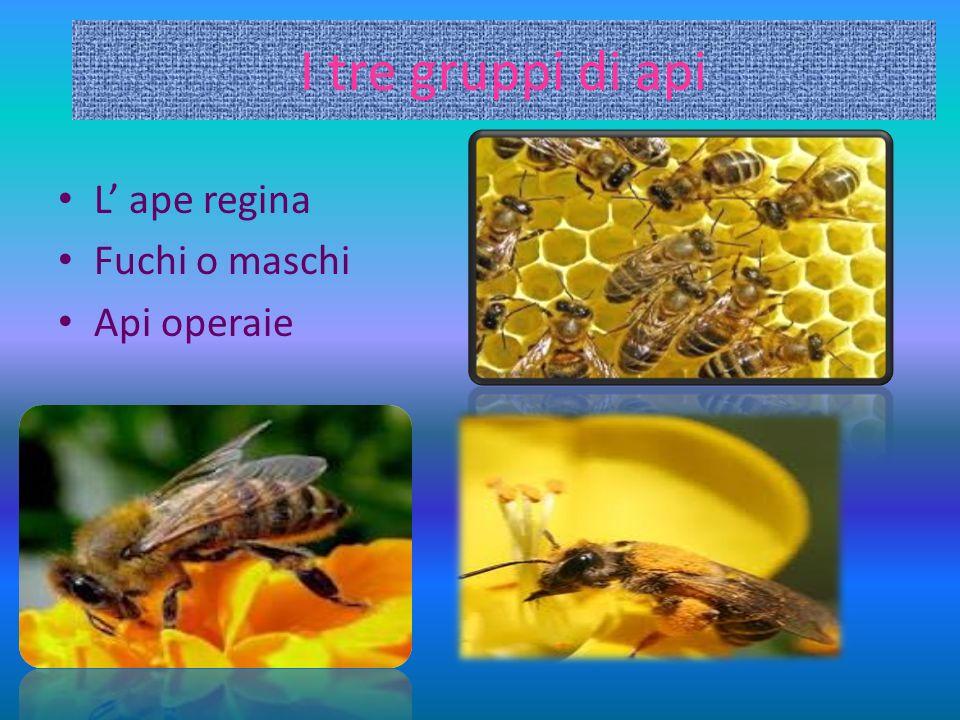 I tre gruppi di api L' ape regina Fuchi o maschi Api operaie