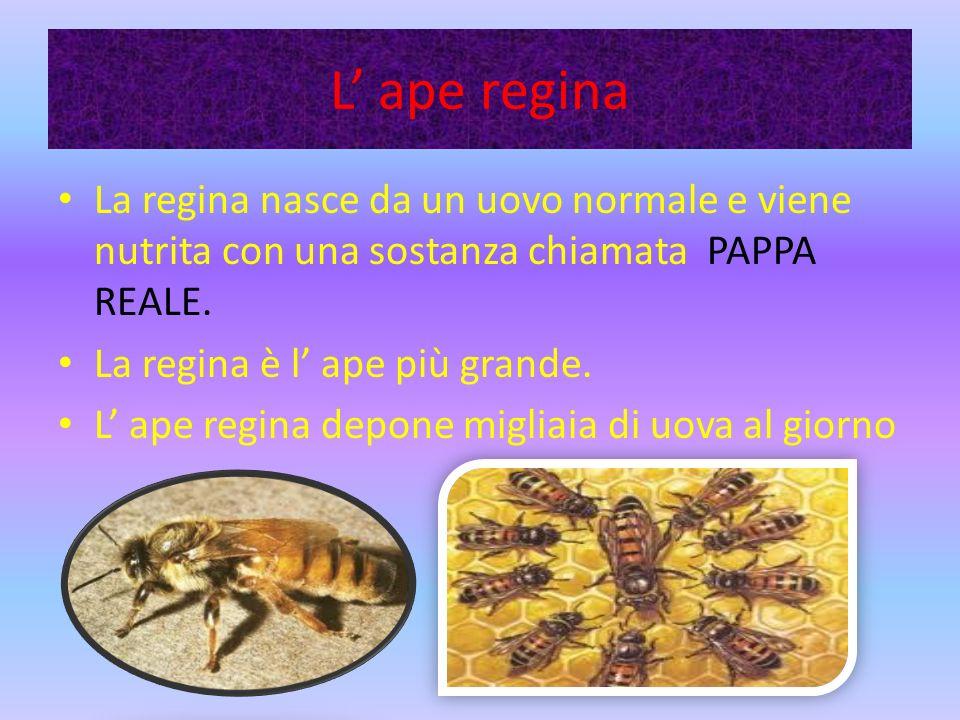 L' ape regina La regina nasce da un uovo normale e viene nutrita con una sostanza chiamata PAPPA REALE.