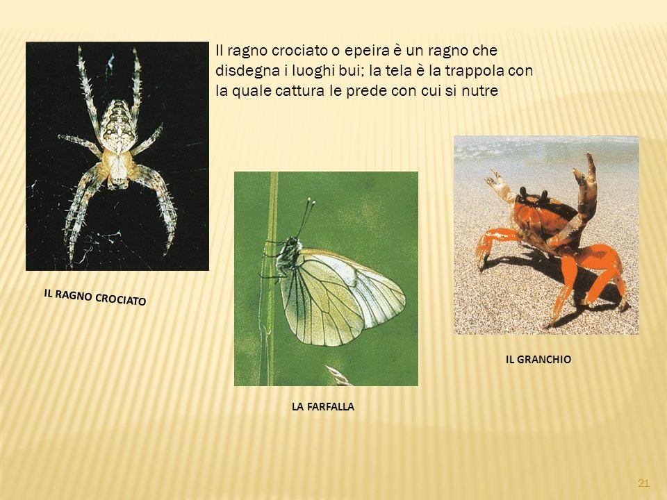 Il ragno crociato o epeira è un ragno che disdegna i luoghi bui; la tela è la trappola con la quale cattura le prede con cui si nutre.