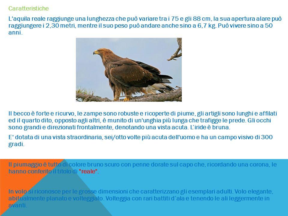 Caratteristiche L aquila reale raggiunge una lunghezza che può variare tra i 75 e gli 88 cm, la sua apertura alare può raggiungere i 2,30 metri, mentre il suo peso può andare anche sino a 6,7 kg.