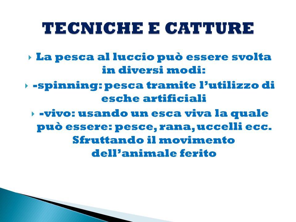 TECNICHE E CATTURE La pesca al luccio può essere svolta in diversi modi: -spinning: pesca tramite l'utilizzo di esche artificiali.