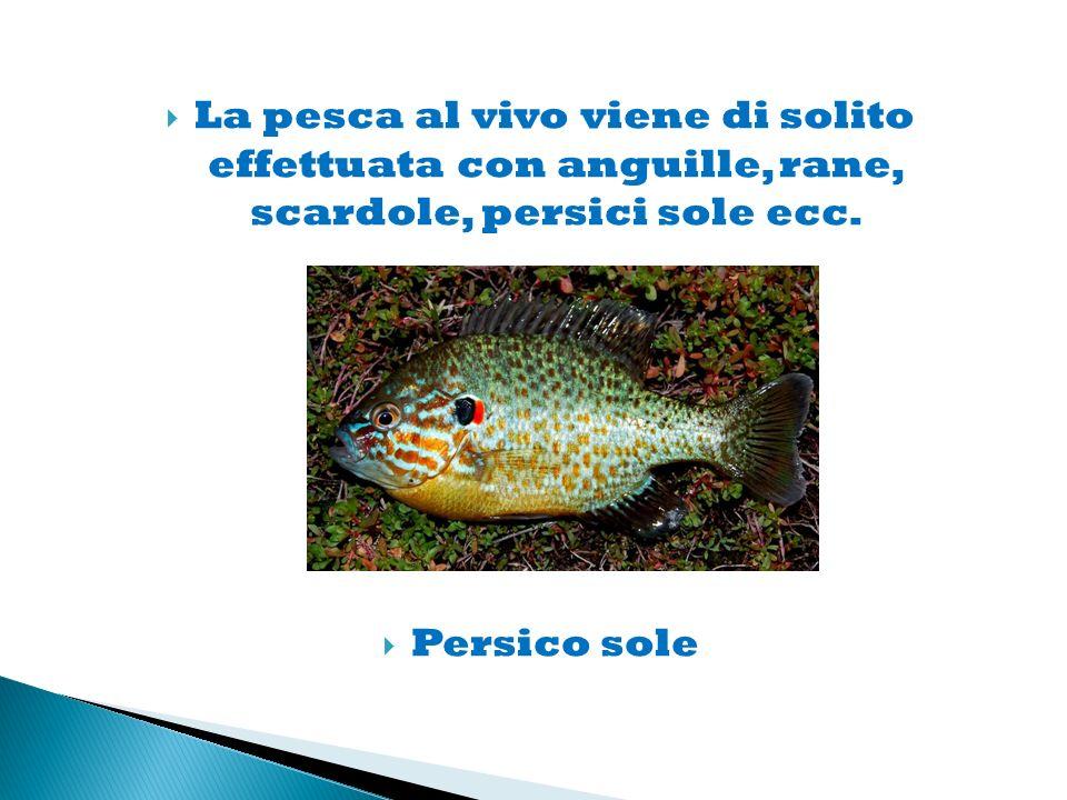 La pesca al vivo viene di solito effettuata con anguille, rane, scardole, persici sole ecc.