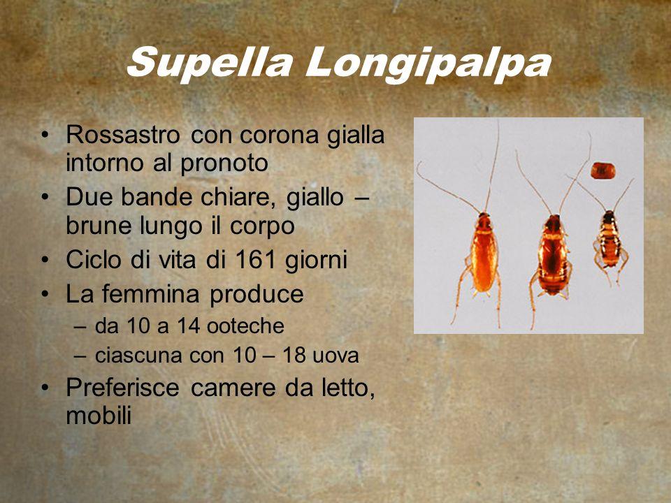 Supella Longipalpa Rossastro con corona gialla intorno al pronoto