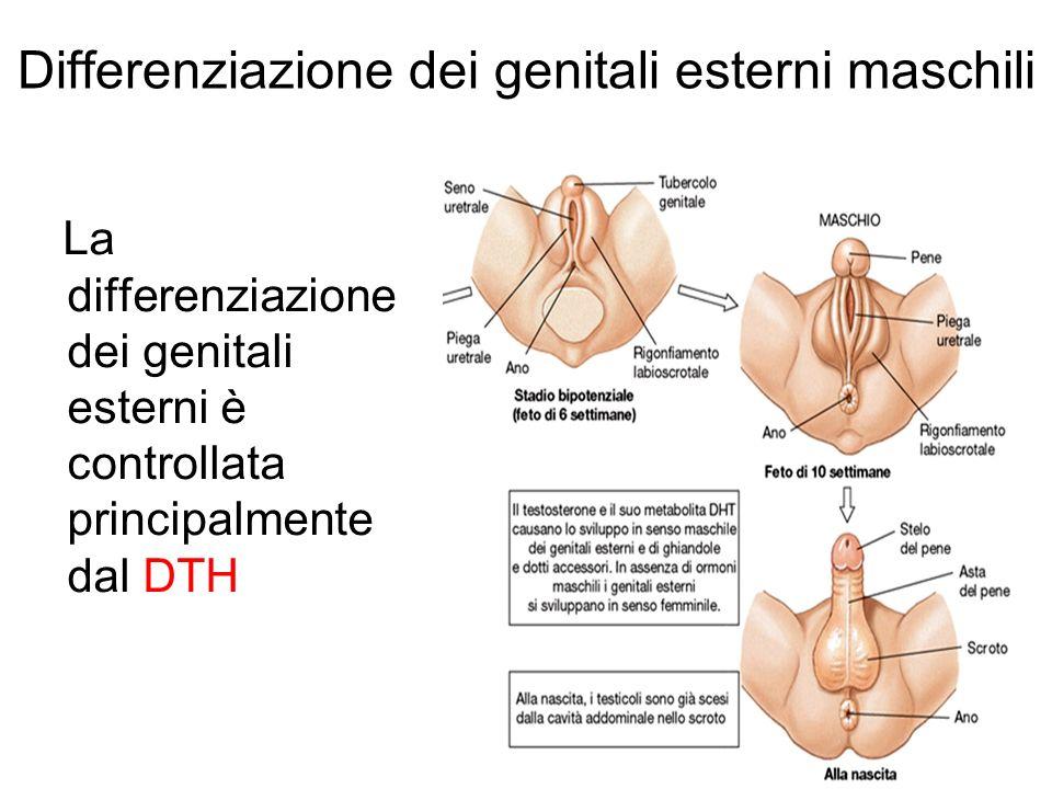 Differenziazione dei genitali esterni maschili