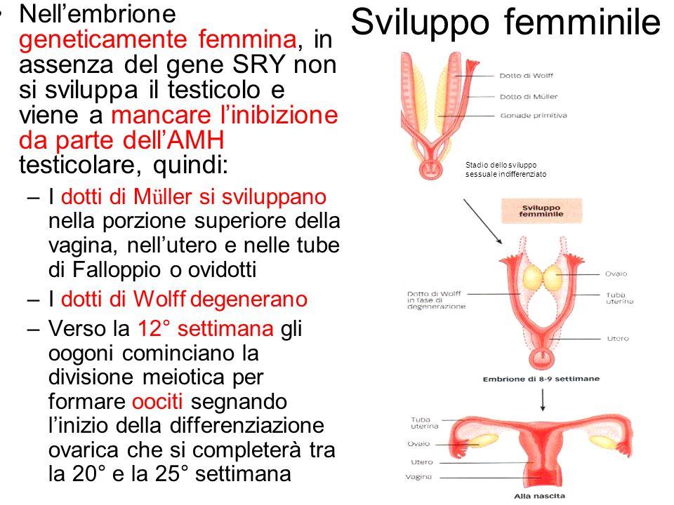 Nell'embrione geneticamente femmina, in assenza del gene SRY non si sviluppa il testicolo e viene a mancare l'inibizione da parte dell'AMH testicolare, quindi: