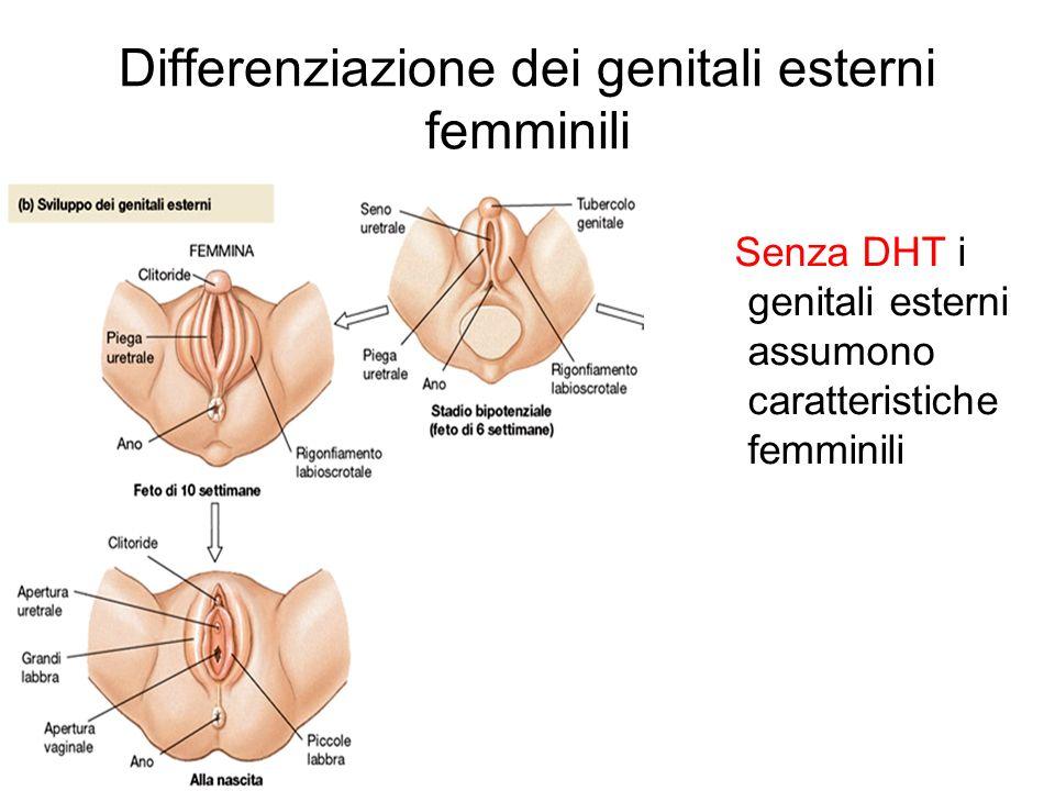 Differenziazione dei genitali esterni femminili