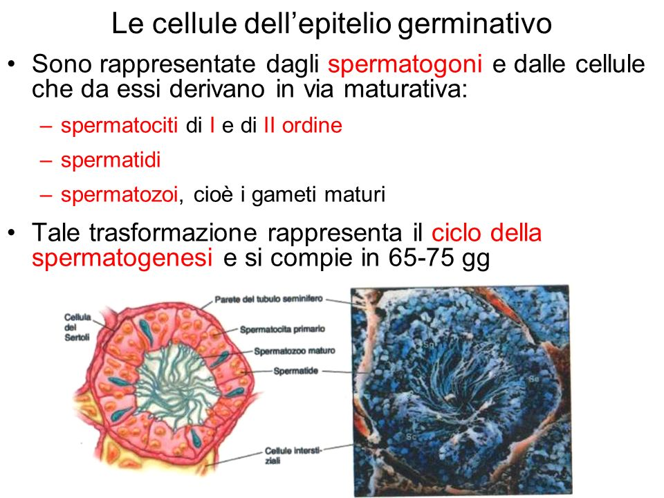 Le cellule dell'epitelio germinativo