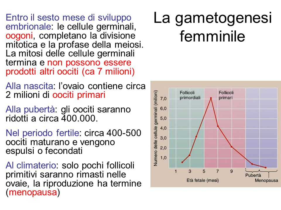 La gametogenesi femminile