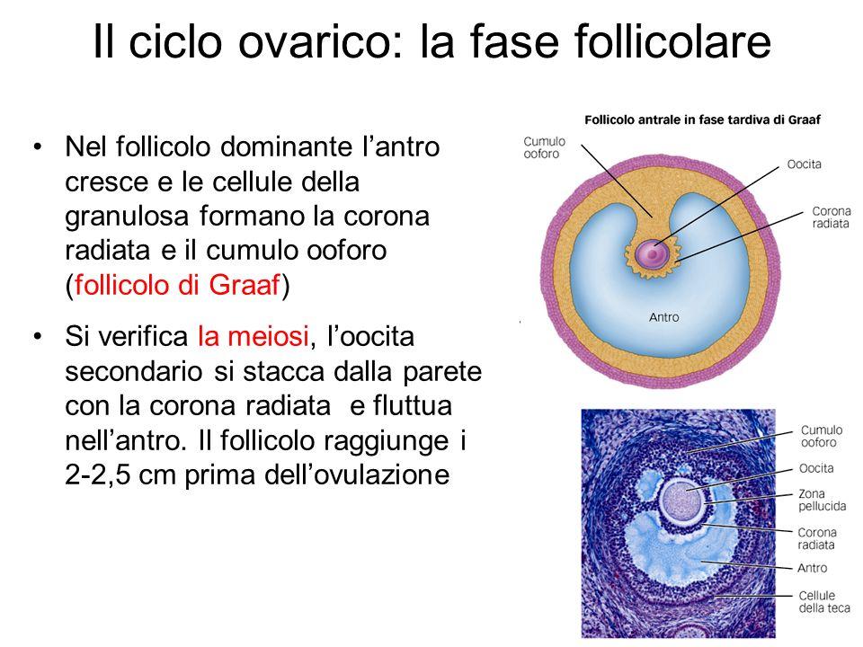 Il ciclo ovarico: la fase follicolare