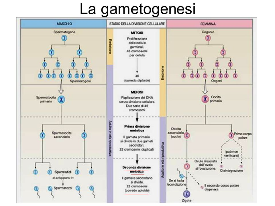 La gametogenesi