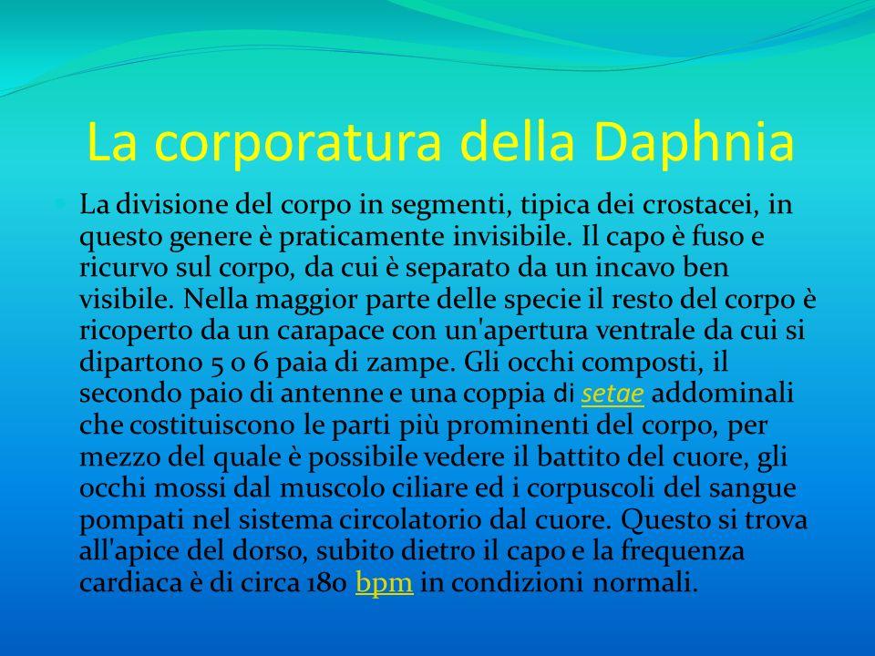 La corporatura della Daphnia