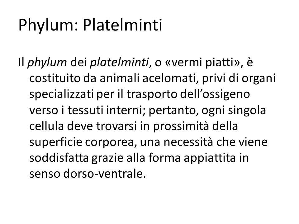 Phylum: Platelminti